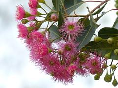 Gumtree flowers. (teressa92) Tags: flowers leaves buds gumtreeflowers stamen green 1330868 pink sky tree