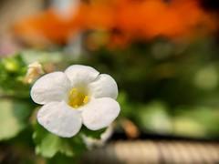 Hanging Basket (dstrong2071) Tags: macro hanging basket white flower