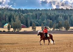 On a Golden Carpet (tiitkbi) Tags: horses riding ridinghorses sky