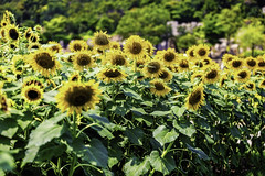 A Sunflower Field is Like a Sky with a Thousand Suns (moaan) Tags: awaji hyogo japan jp flower flowering flora sunflower flowergarden fieldofsunflower outdoor focusonforeground selectivefocus depthoffield dof canon canonphotograohy canoneos5dsr ef70200mmf28lisiiusm urata 2018 bokeh bokehphotography