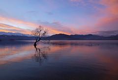 That Wanaka Tree (Matt Champlin) Tags: wanaka thatwanakatree wanakatree newzealand amazing travel beautiful sunset mountains alpine incredible canon 2018 tree lake water sky calm tranquil