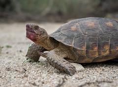 Sonoran Desert Tortoise (wild) - Tucson, Arizona (mattybecks3) Tags: tortoise shell sonoran sonorandeserttortoise wild wildlife animal reptile cold blooded turtlehead ngc natgeo olympus omdem5mii tucson visittucon arizona az nature conservation