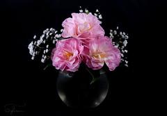 Captivating Camellias (Summername) Tags: flowers blooms flora floral camellias captivating canon flickr stilllife pink glass vase gypsophila blackbackground ocf