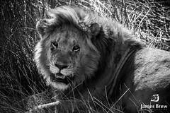 The King (www.jamesbrew.com) (James Brew (www.jamesbrew.com)) Tags: tanzania africa eastafrica serengeti serengetinationalpark wildlife wildlifephotography travel travelphotography jamesbrew lion