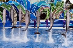 Dolphins (Prayitno / Thank you for (12 millions +) view) Tags: konomark sw sd sea world theme park san diego ca california outdoor dolphin days show theater aquatic pool jump synchronized blue tourist tour family fun activity sunny day time