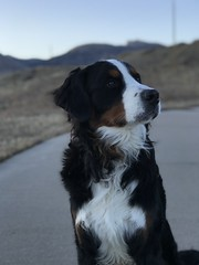 Gunnar (Alpen Schatz - Mary Dawn DeBriae) Tags: happy customer alpenschatz bernesemountaindog dog swissdogcolar hunterswisscrosscollar doggles stein