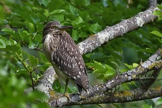 Bihoreau gris juvénile - Nycticorax nycticorax - Black-crowned night heron juv.
