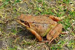 Common or brown Frog (Rana temporaria)   <>   The Netherlands (benBert47) Tags: europeancommonbrownfrog 1025fav