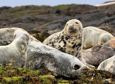 Common Seals (robin denton) Tags: farneislands nature nationaltrust wildlife northumberlandcoast northumberland seal commonseal