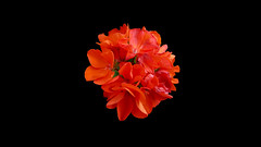 CABANELLES - GERANI (Joan Biarnés) Tags: cabanelles altempordà empordà girona flor macro 267 panasonicfz1000