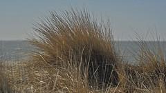 Beachgrass in the dunes of Borkum island (Manfred_H.) Tags: nature landscape plants gräser pflanzen strandhafer beachgrass grass meer nordsee sea seashore ialand northsea borkum horizon horizont sky himmel