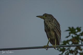 Black-crowned Night Heron-18-1