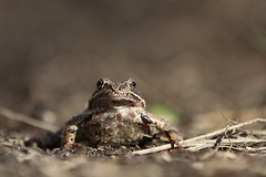Common Frog (nikodemmatuszkiewicz) Tags: wildlife wild wildlifebeauty wildlifephotography wildanimals nature noncaptive naturespectacle animals animalphotography animalplanet animal amphibians frogs frog commonfrog