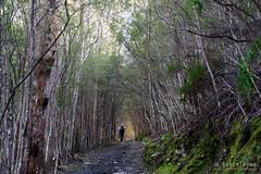 20180908-06-Radford and Zig Zag tracks on Mt Wellington (Roger T Wong) Tags: 2018 australia ferntree hobart rogertwong sel24105g sony24105 sonya7iii sonyalpha7iii sonyfe24105mmf4goss sonyilce7m3 tasmania bushwalk portrait trees tunnel