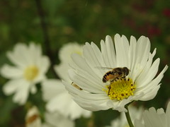 (degreve.sarah) Tags: flower bee macro park garden white