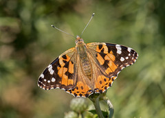 DSC8741  Painted Lady... (jefflack Wildlife&Nature) Tags: paintedlady butterflies butterfly insects insect lepidoptera flowers nectaring gardens grasslands wildlife wetlands woodlands wildlifephotography wildflowers jefflackphotography macro moorland marshland meadows marshes heathland hedgerows heathlands countryside copse glades nature ngc