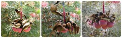 Scrum...a feathered scrum... (Anni - with camera - away for a little bit) Tags: lonchuracastaneothoraxtheselittlefinchesarecomingtomyhangingseedtraysatthemomentinlargenumbersperhapsthereisntmuchgrassseedsaroundyetthisspringiamtakingtheimagefromtheopenwindowandtheyarewaitingformetomov chestnutbreastedmannikin inmygarden windaroo sequeensland seed