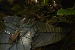 Crested toad (Rhinella alata) (pbertner) Tags: jardinbotanicodelpacifico rainforest southamerica bahiasolano colombia choco pacificcoastal rhinellamargaritifera toad camouflage