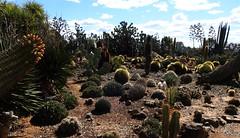 Cactus Country, Strathmerton 1403 (Lesley A Butler) Tags: victoria strathmerton cactuscountry cacti australia