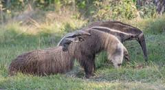 Giant Anteater and baby (Tris Enticknap) Tags: brazil thesouthernpantanal fazendabarrancoalto anteater southamerica giantanteater nikond500 myrmecophagatridactyla