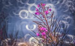 Riverside bokeh (Dhina A) Tags: sony a7rii ilce7rm2 a7r2 a7r minolta rf rokkorx 250mm f56 mirror reflex minolta250mmf56 md prime rokkor bokeh rosebay willowherb fireweed