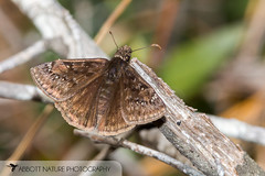 Juvenal's Duskywing (Erynnis juvenalis) 20180312_3418.jpg (Abbott Nature Photography) Tags: neoptera skippers organismseukaryotes lepidopterabutterfliesmoths butterfly endopterygota pterygota animals hesperiidaeskippers hexapoda arthropodaarthropods invertebratainvertebrates insectainsects papilionoidea andalusia alabama unitedstates us