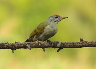 Grey-headed Woodpecker --- Picus canus