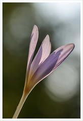 Fiore 247 (Outlaw Pete 65) Tags: macro closeup fiore flower natura nature colori colours luce light nikond750 sigma105mm collebeato lombardia italia