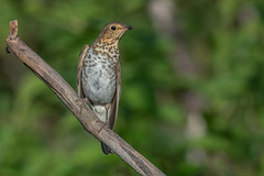 Swainsons Thrush (Joe Branco) Tags: grass birds ontario flower leaf tree nikond850 joebrancophotography wildlifephotography nikon canada swainson'sthrush green