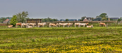 Dutch cows waiting for the rancher. (Only photoshoot, don't be afraid) Tags: kinslermeer cows milking northholland noordholland dieren animal tier thenetherlands