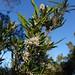 2016-09-27 Bicheno Lookout Rock 38 - Leucopogon australis - Spike beard-heath - White flowers