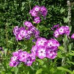Au jardin, phlox paniculé (phlox paniculata), Bosdarros, Béarn, Pyrénées Atlantiques, Nouvelle-Aquitaine, France. thumbnail