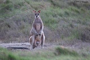 Agile Wallaby, Macropus agilis