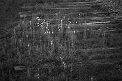 little yellow flowers, old railroad ties, Thomaston, Maine, Nikon D3300, nikon nikkor 50mm f-2, 9.15.18 (steve aimone) Tags: flowers floralforms railroadties ruraldecay thomaston maine nikond3300 nikonnikkor50mmf2 nikonprime primelens monochrome monochromatic blackandwhite landscape midcoast