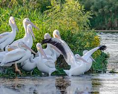 American White Pelican (corkemup52) Tags: birds pelicans americanwhitepelican wildlife nebraska nature nikond7000 200500 outdoors
