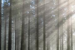 Streiflicht (www.textbox.at) Tags: wald licht streiflicht morgen nebel kammspitze österreich steiermark gröbming fichten forst