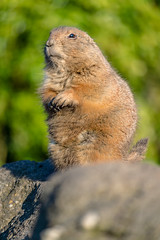 On guard (WimTA) Tags: prairiedog prairiehond rotterdam blijdorp wimta canoneos80d efs55250mmf456isstm