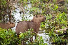 Capybara (Hydrochoerus hydrochaeris) (Sergey Pisarevskiy) Tags: animals bolivia southamerica wildnature wildlife capybara hydrochoerushydrochaeris