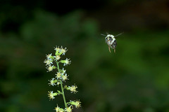 Bumble bee in flight (Dave Angelini) Tags: bumblebee flight