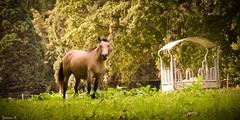 Horse - 5889 (ΨᗩSᗰIᘉᗴ HᗴᘉS +22 000 000 thx) Tags: horse nature coolpixp1000 nikonp1000 hensyasmine namur belgium europa aaa namuroise look photo friends be wow yasminehens interest intersting eu fr greatphotographers lanamuroise