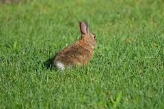 A new addition at work (dylangaughan43) Tags: rabbit nikon nikonphotography nikond5200 grass green fauna