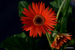 1-DSC_1531-001 deep orange (profmarilena) Tags: orangegerbera summer macro closeup orange profmarilena