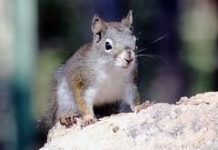 Red Squirrel (Tamiasciuris hudsonicus); Santa Fe National Forest, NM, Thompson Ridge [Lou Feltz] (deserttoad) Tags: fauna animal rodent squirrel forest mountain tree wildlife behavior newmexico nationalforest mammal
