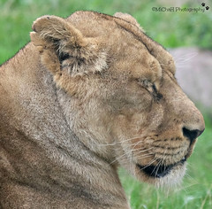 sleepy lioness (MiChaH) Tags: dierentuin diergaarde blijdorp rotterdam zoo lioness leeuwin sleeping slapen 2018 wild cat kat