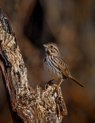 Sing a Song (Kathy Macpherson Baca) Tags: animal bird birds sparrow world song preserve planet earth sing autumn nature wildlife fly feathers migrate