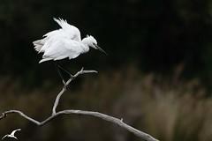 Garzette ébouriffée (mkerguelenmagrin) Tags: aigrettegarzette aquitaine ardéidés egrettagarzetta leteich littleegret pélécaniformes bird oiseau