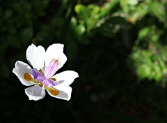2018 Sydney: Lily in the garden - it must be Spring! (dominotic) Tags: 2018 flower plant nature garden lily purple green sydney australia
