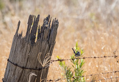 Battle Of The Giants 4 (petefeats) Tags: australia birds brisbane maluridae maluruscyaneus nature oxleycommon passeriformes queensland superbfairywren male motley