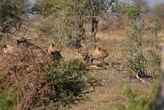 Sudafrica - Kruger National Park -Lions (PierBia) Tags: sudafrica kruger national park lions nikon d810