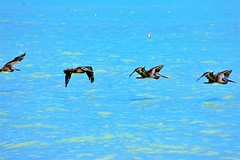 Pelicans on the move (thomasgorman1) Tags: birds pelicans flying baja ocean sea beach nature flock mexico mx nikon shore